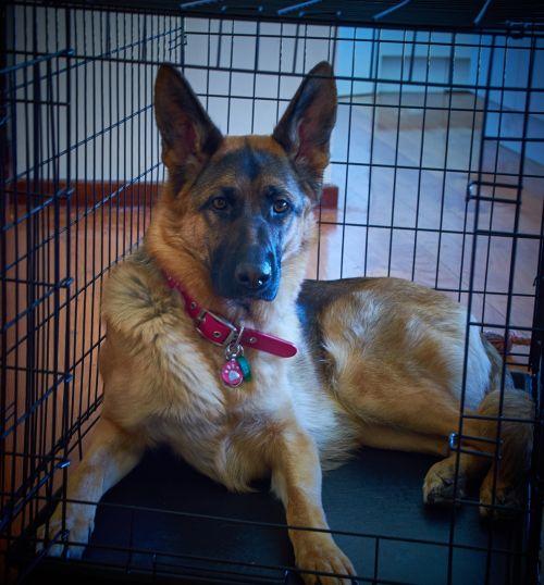 german shepherd gsd dog
