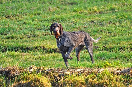 german wire haired pointer pointer hunting dog