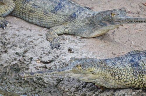 gharial crocodile reptile