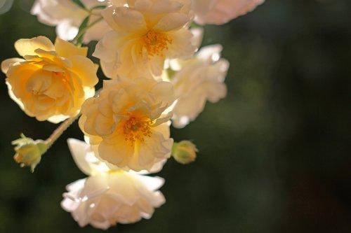 ghischlaine de filigonde  rose  rampler rose