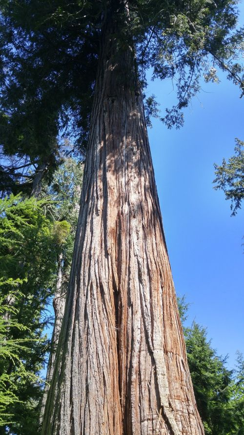 giant douglas fir nature