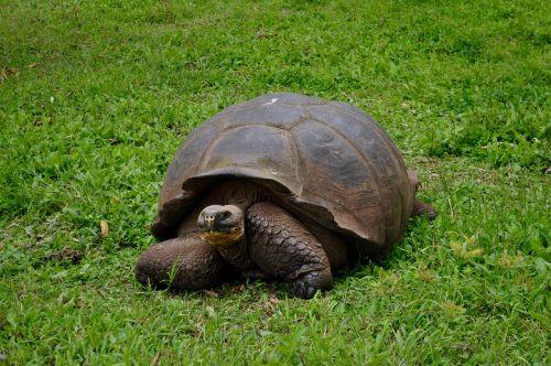 giant tortoise turtle