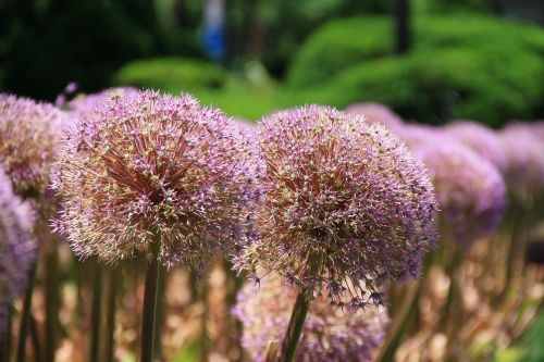 giant allium plant flower