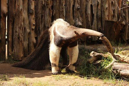 giant anteater  animal  wildlife