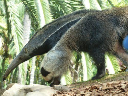 giant anteater animal myrmecophaga tridactyla