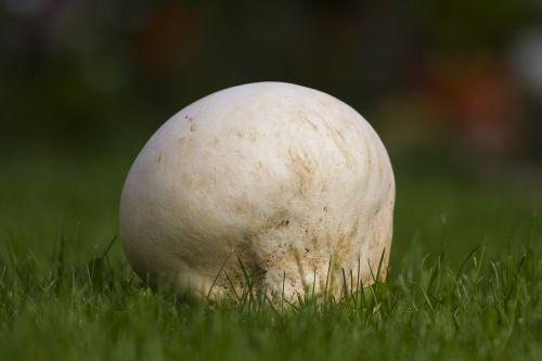 giant bovist mushroom large umbrinum