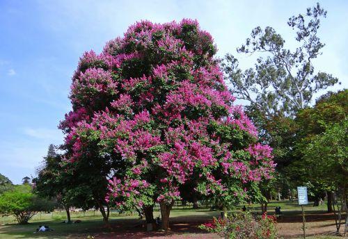 giant crape-myrtle lagerstroemia speciosa queen's crape-myrtle