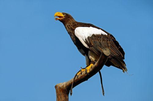 giant eagle adler bird