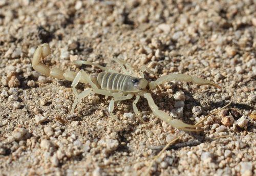 giant hairy scorpion wildlife wild