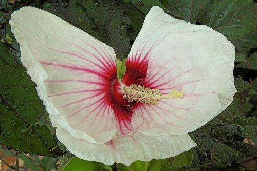 giant hibiscus raindrop hibiscus