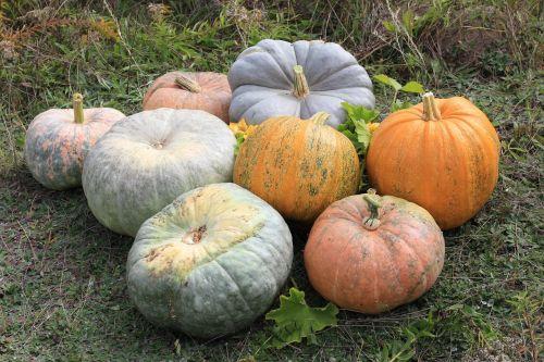 giant kürbise pumpkins gartenkuerbise