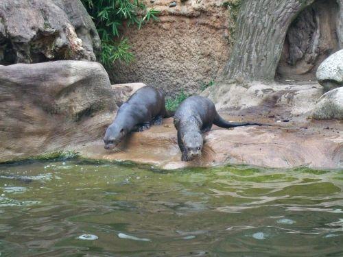giant otter zoo duisburg