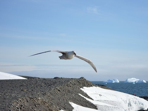 giant petrel  ave  birds