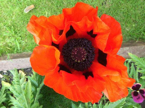 giant poppy english poppy red poppy