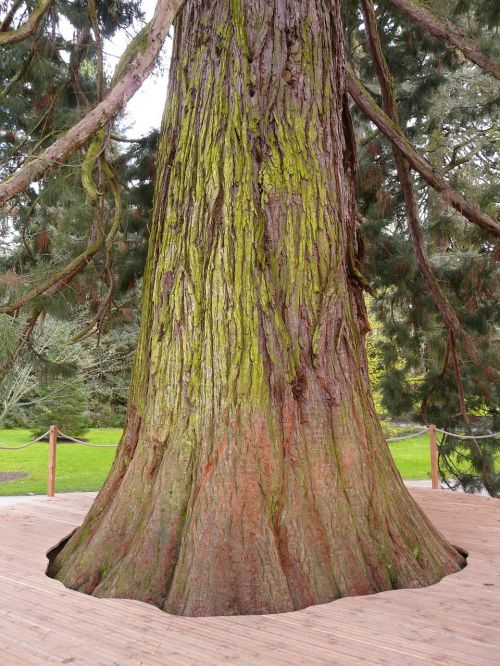 giant redwood sequoiadendron giganteum tree