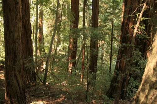 milžinas, Redwood, medžiai, Kalifornija, milžiniški raudonmedžio medžiai Kalifornijoje