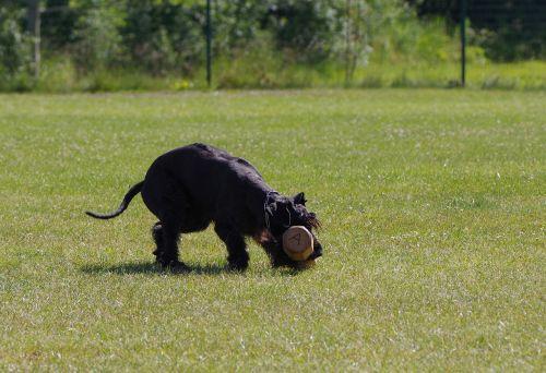 giant schnauzer competition dumbbell retrieve