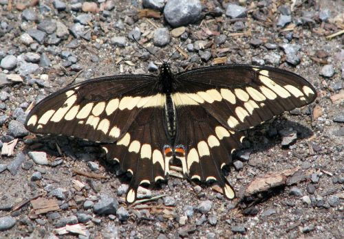 giant swallowtail papilio cresphontes largest na butterfly