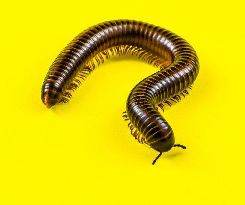 giant tausendfüßer millipedes arthropod