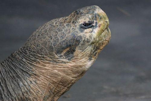 giant tortoise galápagos giant tortoise turtle