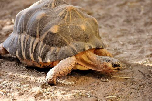 giant tortoise panzer animal