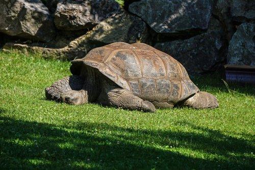 giant tortoise  turtle  reptile