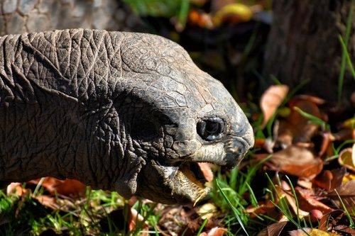 giant tortoise  eat  animal