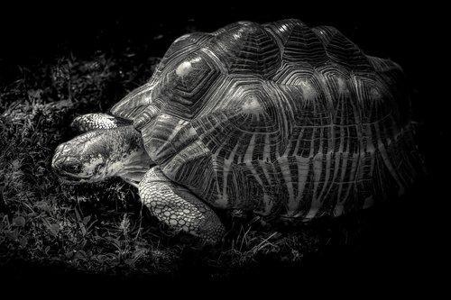 giant tortoise  gad  shell