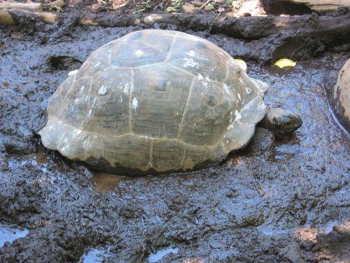 giant tortoise turtle panzer