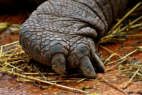 giant tortoises foot rear