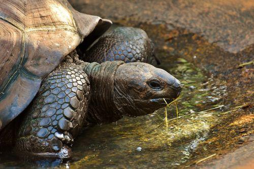 giant tortoises animals panzer