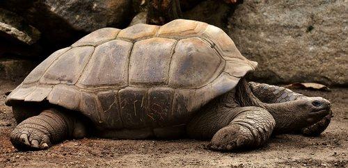 giant tortoises  animals  water