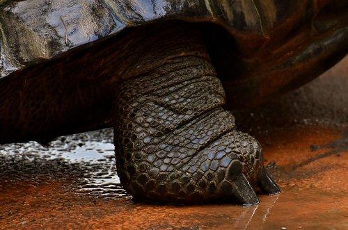 giant tortoises  foot  animals
