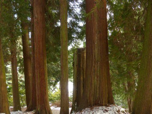 giant tree of life tree plant
