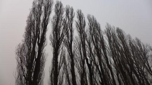 giant trees upward grey skies