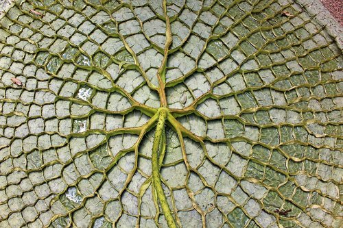 giant water lily leaf  the underside of the leaf  aquatic plant