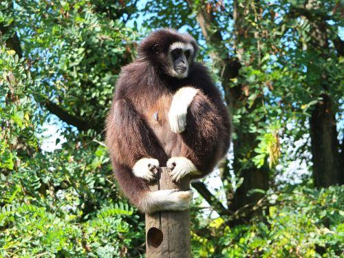 gibbon gibbon white hands ape