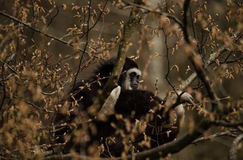 gibbon monkey tree