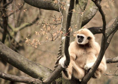 gibbon white-handed gibbon primate