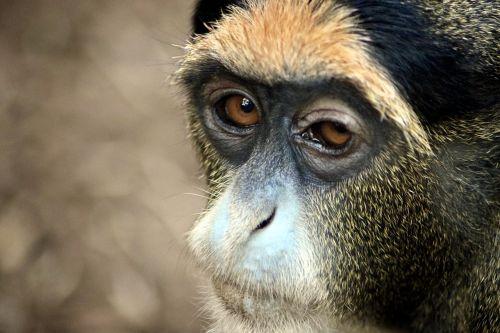 gibbon monkey zooaufnahme