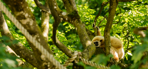 gibbon white-handed gibbon monkey