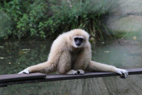 gibbon mammal zoo