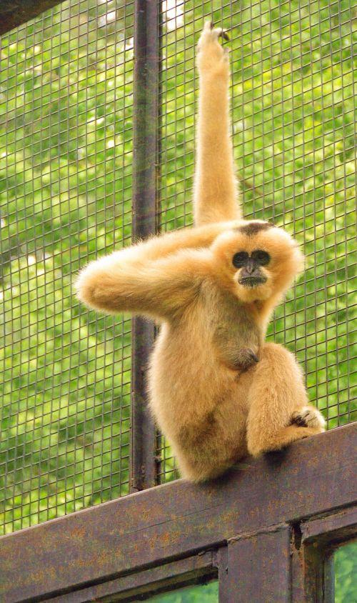 gibbon animal zoo