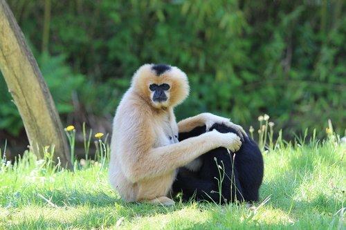 gibbon  zoo  planckendael