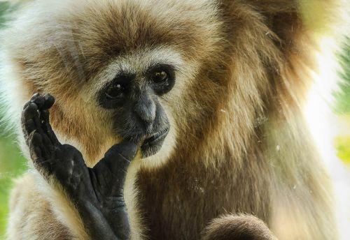 gibbon primate ape