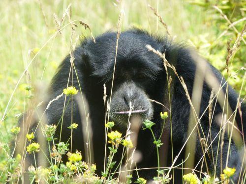 gibbon monkeys zoo