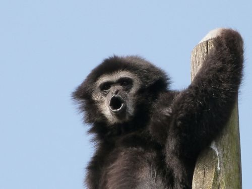 gibbon white hands animals great apes