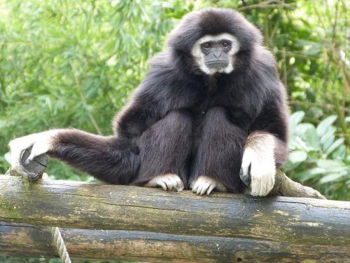 gibbon white hands monkeys animals