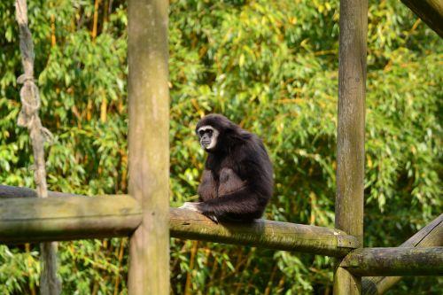 gibbons monkey black