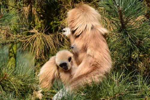 gibbons monkey brown